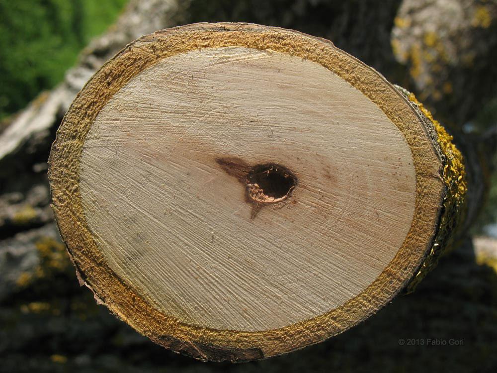 Case Di Tronchi Americane : Tipi di legno guida alle caratteristiche dei legnami italiani