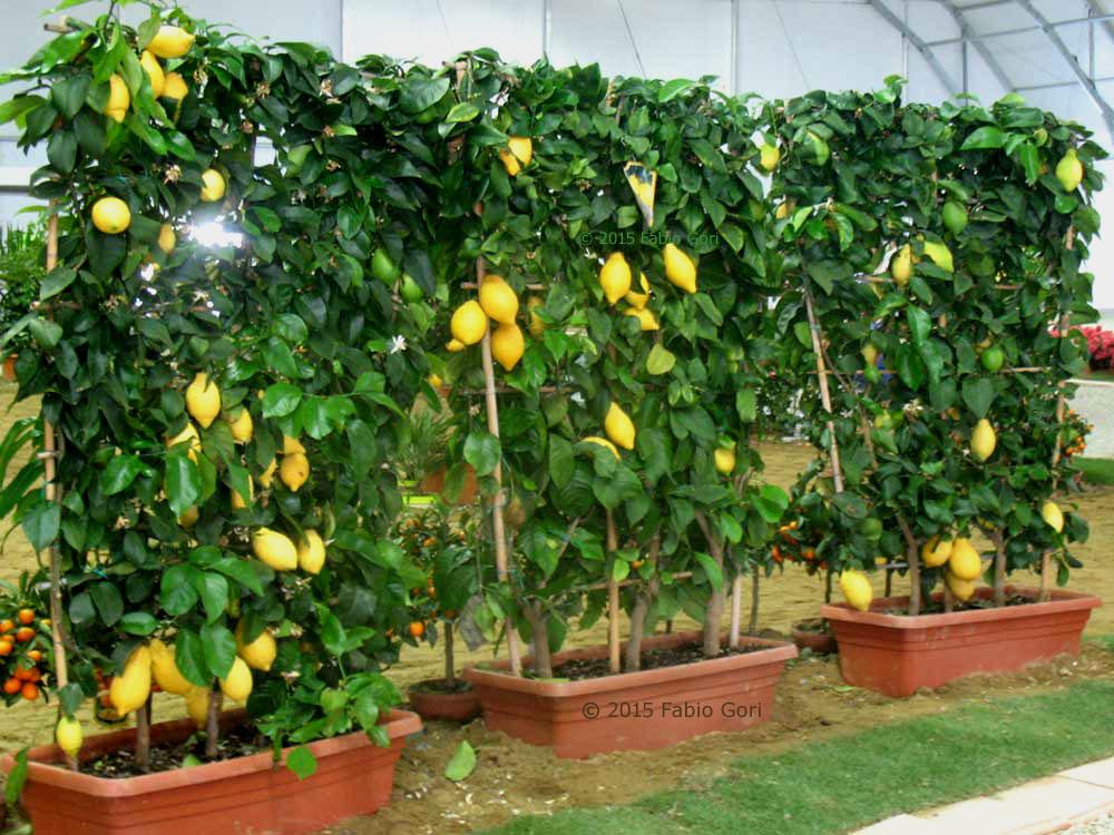 Orto sul balcone sul terrazzo in casa in giardino for Coltivare limoni